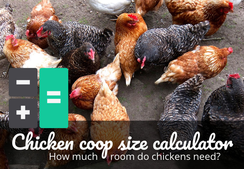 Chicken housing requirements calculator - How many square feet?