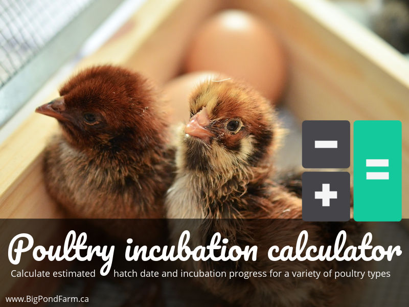 Poultry incubation calculator